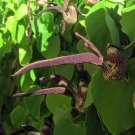 Gaping Dutchman's Pipe Aristolochia Ringens - 15 Seeds