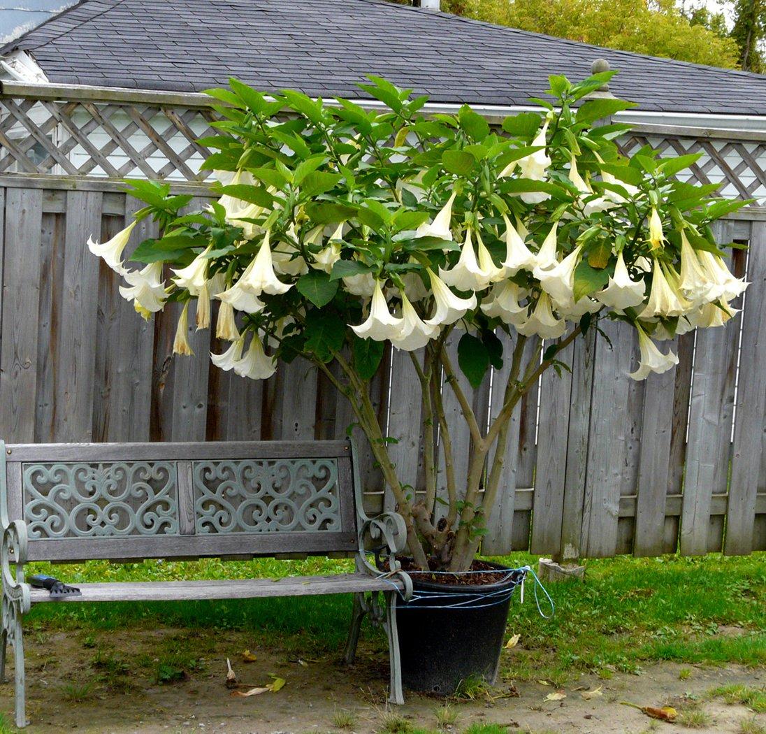 White Angel Trumpet Brugmansia Arborea 5 Seeds