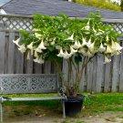 White Angel Trumpet Brugmansia arborea - 5 Seeds