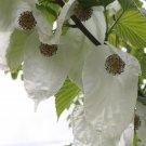 Scarce Hankerchief Tree Dove Tree Davidia involucrata - 1 Seed Nut