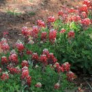 Aggie Bonnet Red Bluebonnet Lupinus texensis - 25 Seeds