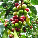 Fresh Raw Seeds Brazilian Coffee Plant Coffea Arabica - 25 Fresh Seeds