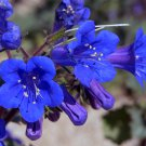 California Desert Bluebell Phacelia Campanularia - 200 Seeds