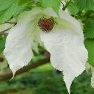 Rare Handkerchief Tree Davidia involucrata - 2 Seed Nuts