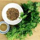 Sale! Organic Cilantro Coriander Coriandrum sativum 2 for 1 - 50 Seeds