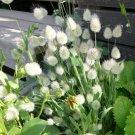 Ornamental Bunny Tails Grass Lagurus ovatus - 40 Seeds