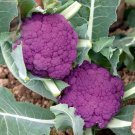 Graffiti Dark Purple Cauliflower Hybrid Brassica oleracea var. botrytis - 20 Seeds