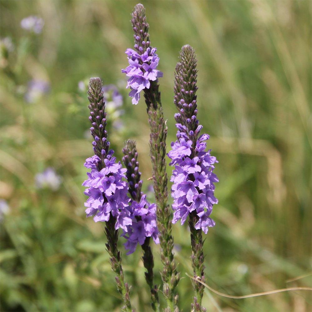 Lavender Hoary Vervain Verbena stricta - 200 Seeds