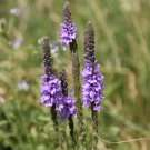 Lavender Hoary Vervain Verbena stricta - 200 Seeds