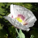 Elka White Breadseed Poppy Rare Papaver glabrum - 100 Seeds
