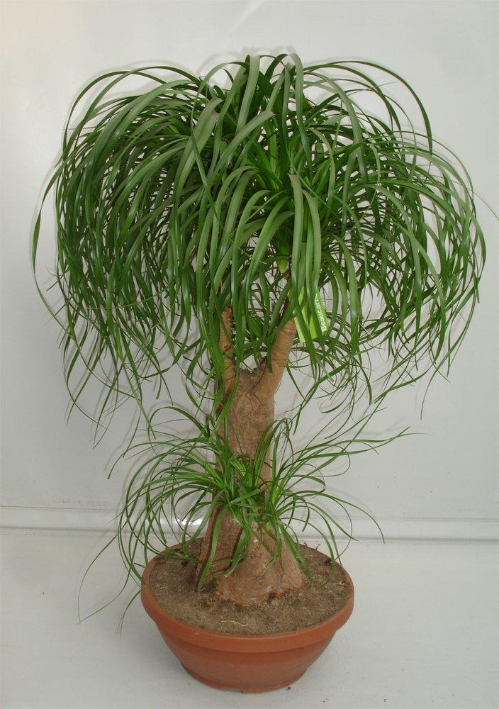 Ponytail palm beaucarnea recurvata 15 seeds - Planta pata de elefante ...