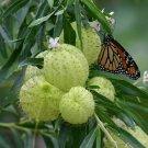 Rare Swan Plant Milkweed Family Jewels Asclepias physocarpa - 20 Seeds