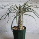 Cactus Silver Madagascar Palm Pachypodium geayi - 8 Seeds
