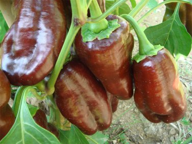 Organic Heirloom Sweet Brown Bell Pepper 'Chocolate Beauty' Capsicum annuum - 25 Seeds