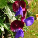 Rare Dramatic Bi-Color Sweet Pea Lathyrus odoratus 'Matucana' - 15 Seeds