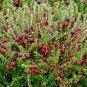 Wild Cranberry Vaccinium Macrocarpon � 25 Seeds