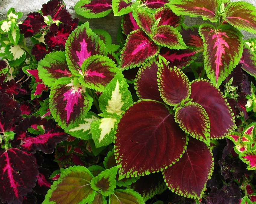 Colorful Coleus Mix Solenostemon Scutellarioides 100 Seeds
