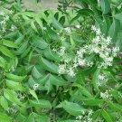 Neem Azadirachta indica - 10 Seeds