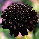 Pincushion Flower Sweet Scabiosa Black Night Scabiosa atropurpurea - 30 Seeds