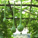 Heirloom Long Handle Dipper Gourd Lagenaria siceraria - 8 Seeds