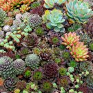 Mixed Cactus Hen and Chick's Succulents Sempervivum - 50 Seeds