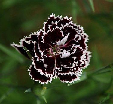 Carnation Dianthus 'Black And White Minstrel' Dianthus Chinensis Heddewigii - 25 Seeds
