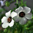 Hibiscus 'Simply Love' Hibiscus Trionum - 15 Seeds