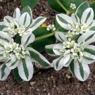 Variegated Euphorbia 'Kilimanjaro'  Euphorbia Marginata - 20 Seeds