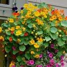 Edible Flowers Organic  Nasturtium Tropaeolum Majus - 25 Seeds