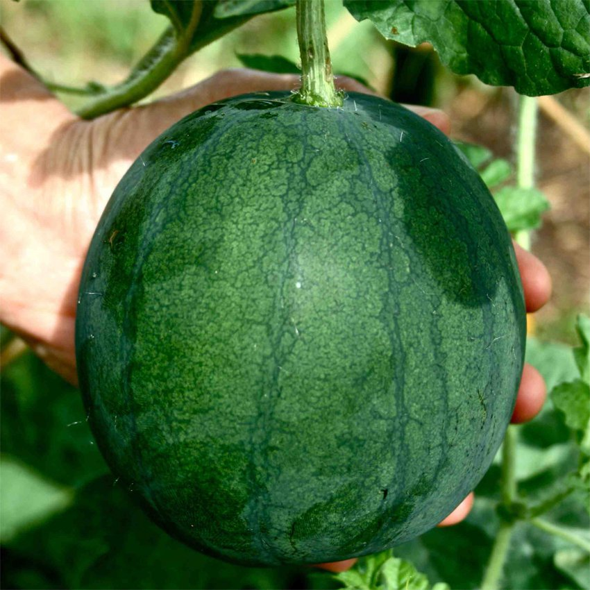 Organic Heirloom Small Sugar Baby Watermelon Citrullus