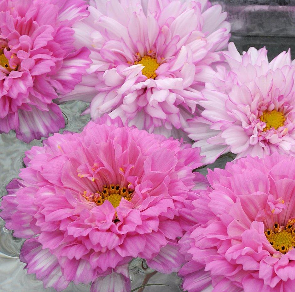 New! Unusual Double Rose Cosmos BonBon Cosmos bipinnatus - 50 Seeds