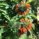 Klip Dagga Lion's Ear Leonotis nepetifolia - 20 Seeds