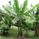 Hardy Snow Banana Ensete glaucum - 8 Seeds