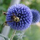 Beautiful Ornamental Steel Blue Globe Thistle Echinops Ritro - 20 Seeds