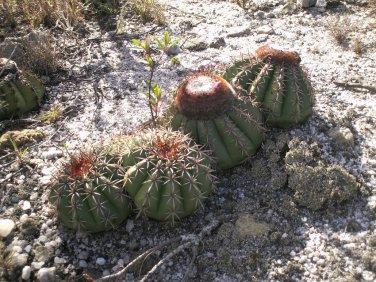 Rare Melon Cactus Melocactus conoideus - 15 Seeds