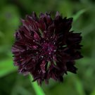 Cornflower Black Ball Centaurea cyanus - 40 Seeds