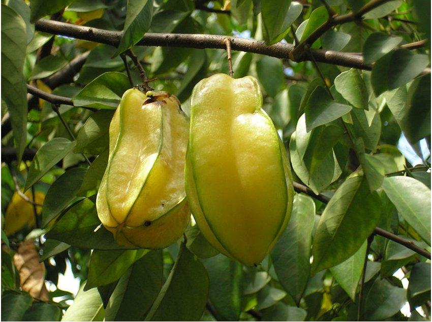 Carambola Star Fruit Averrhoa carambola - 5 Seeds
