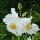 Himalayan Poppy White Meconopsis baileyi Alba - 25 Seeds