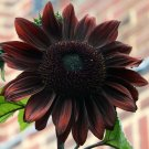 Rare Almost Black Sunflower Black Beauty Helianthus annuus - 20 Seeds