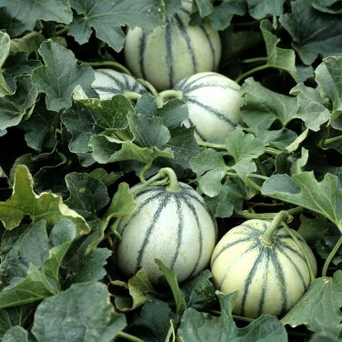 Rare Small Heirloom True French Charentais Gourmet Melon Cucumis Melo - 25 Seeds