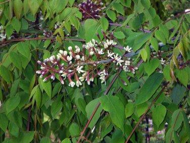 Kentucky Coffee Tree Gymnocladus dioicus � 8 Seeds