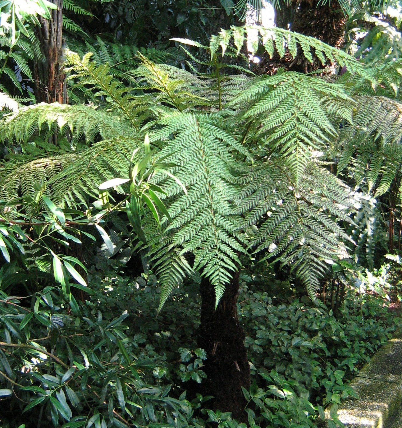 New Zealand Wheki Ponga Fern Tree Dicksonia fibrosa - 100 Seeds Spores