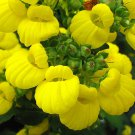 Yellow Lady's Slipper Flower Calceolaria integrifolia - 20 Seeds