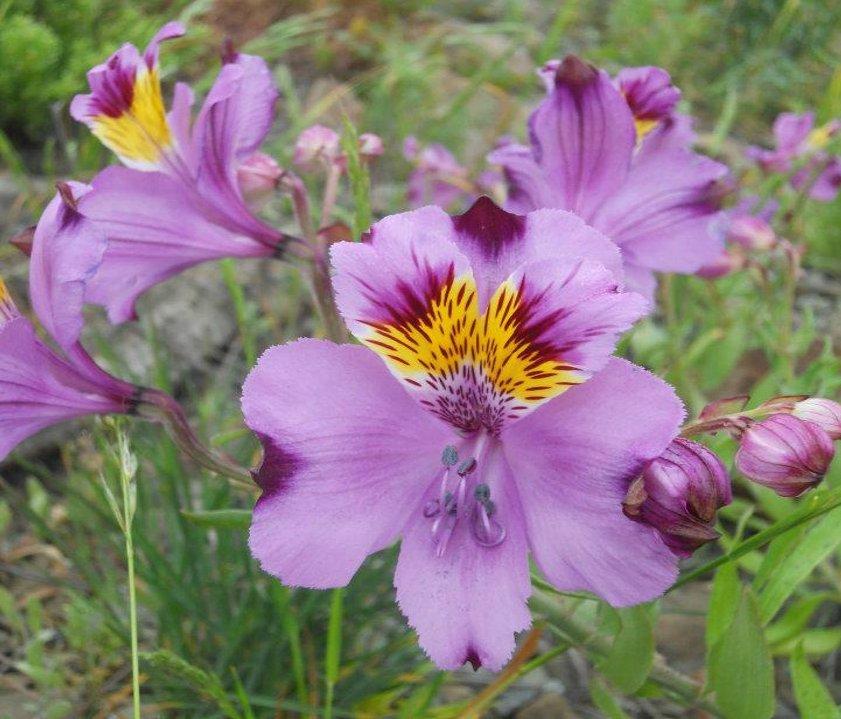 Rare Chilean Eagle Flower Alstroemeria magnifica - 10 Seeds