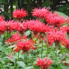 Scarlet Red Bee Balm Monarda didyma Panorama Red - 25 Seeds