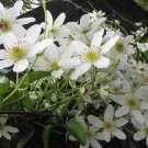 Rare Native Puawhananga New Zealand Clematis paniculata  - 18 Seeds