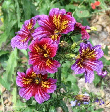 Stunning Painted Tongue Mix Salpiglossis grandiflora - 100 Seeds