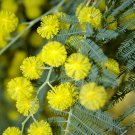 Bright Yellow Mimosa Silver Wattle Acacia dealbata - 15 Seeds