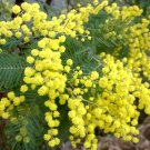 Unusual Yellow Mimosa Silver Wattle Acacia dealbata - 15 Seeds
