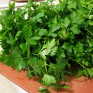 Organic Heirloom Kitchen Herb Italian Parsley Petroselinum crispun - 500 Seeds